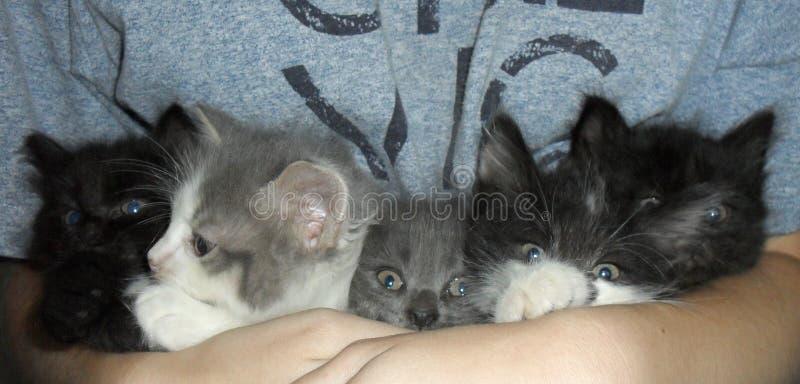 Пушистые милые котята на руках женщины стоковые изображения