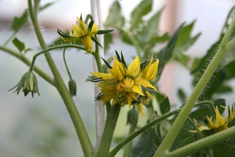 Пушистые цветки томата стоковые изображения rf