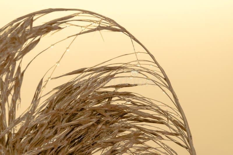 Пушистый бежевый Reed согнул верхнюю часть с крошечными падениями воды на ем в желтой, бежевой поверхности предпосылки стоковое фото rf
