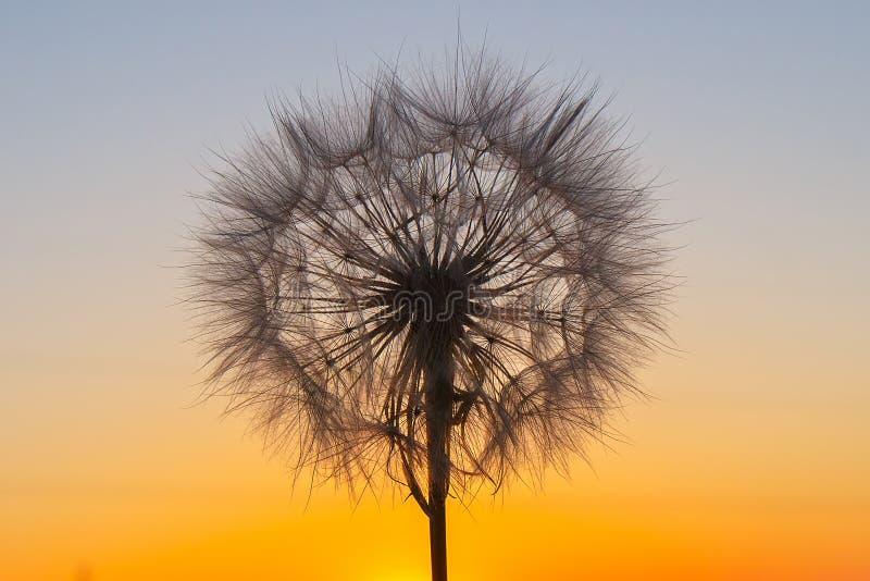Пушистый большой одуванчик против фона заходящего солнца стоковая фотография rf