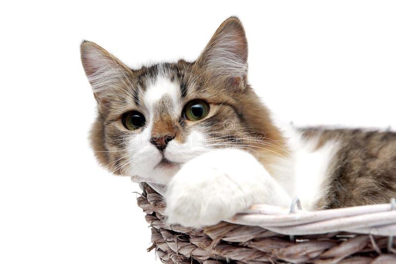 Пушистый кот лежит в корзине стоковое изображение rf