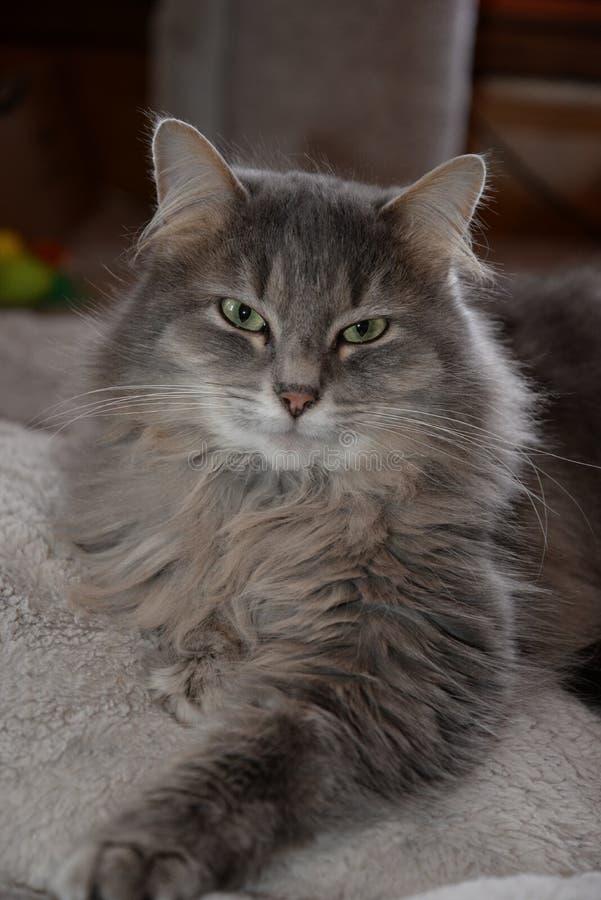 Пушистый кот lounging смотрящ камеру стоковые фото