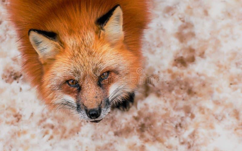 Пушистый милый портрет красной лисы в зиме, zao, miyagi, зоне Tohoku, Японии стоковая фотография