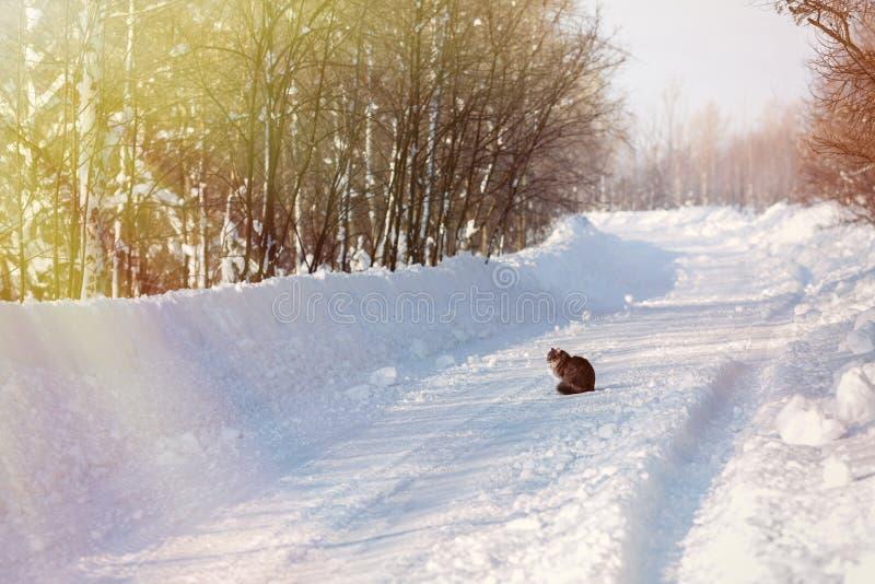 Пушистый серый кот в снеге, сидя на дороге в лесе стоковое фото