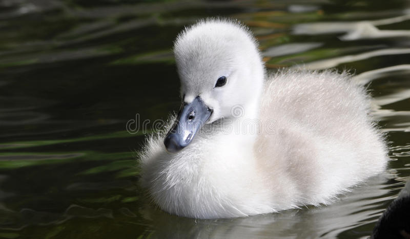 Пушистый цыпленок лебедя младенца стоковое фото rf