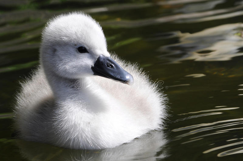 Пушистый цыпленок лебедя младенца стоковое изображение rf