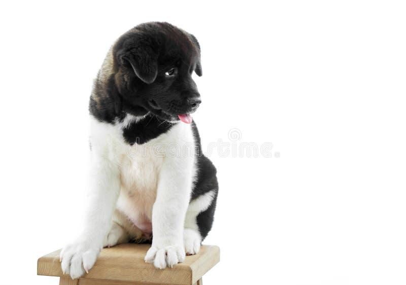 Пушистый щенок akita s американца сидит на стуле woodn стоковая фотография