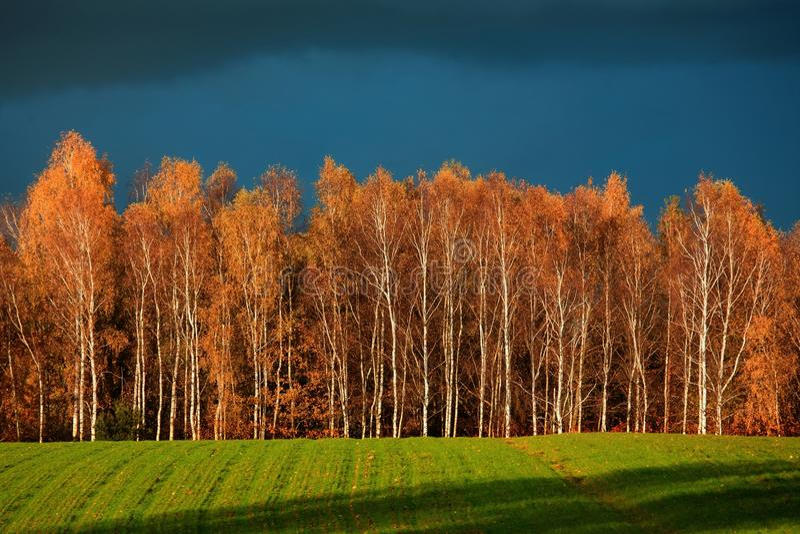 Пуща березы в осени стоковое фото rf