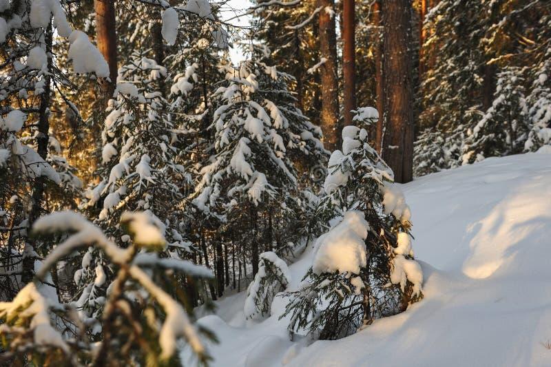 пуща зимняя стоковые фото