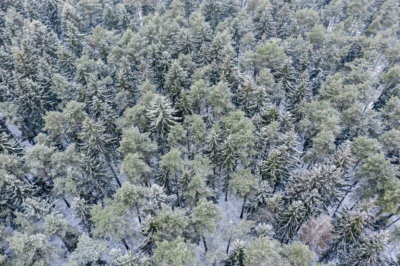 Пуща зимы высокие покрытые снег сосна и ели стоковые фото