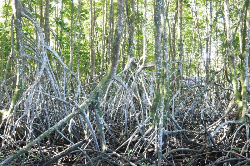 Пуща мангровы в Таиланде стоковая фотография rf