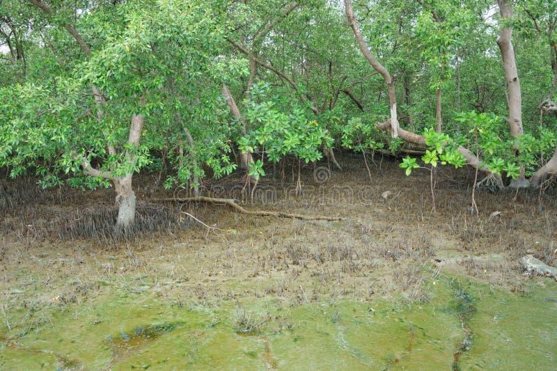 Пуща мангровы в Таиланде стоковые фотографии rf