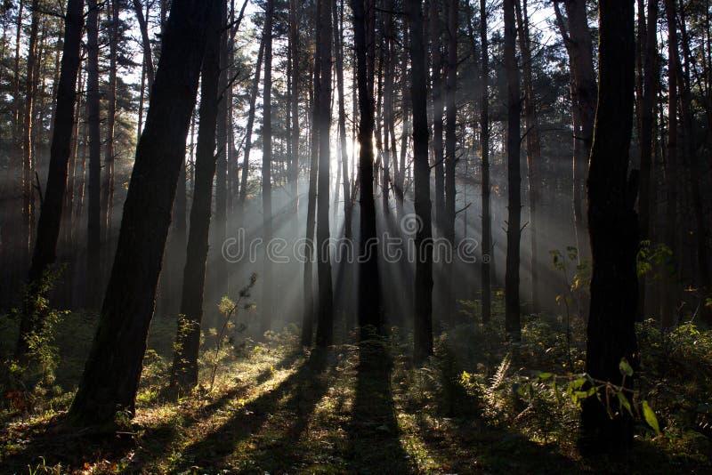 Пуща утра туманная стоковое изображение