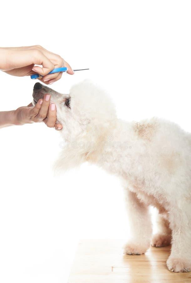 Пудель получая отрезок волос стоковое изображение rf