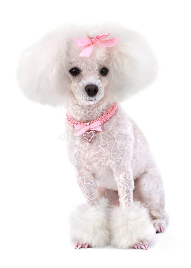 Пудель собаки стоковая фотография