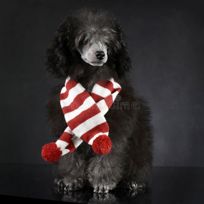 Пудель щенка в темной студии фото с шарфом chrismas стоковое фото rf