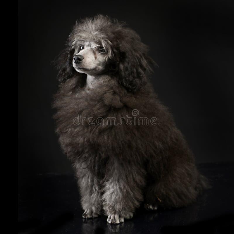 Пудель щенка в темном усаживании студии стоковая фотография
