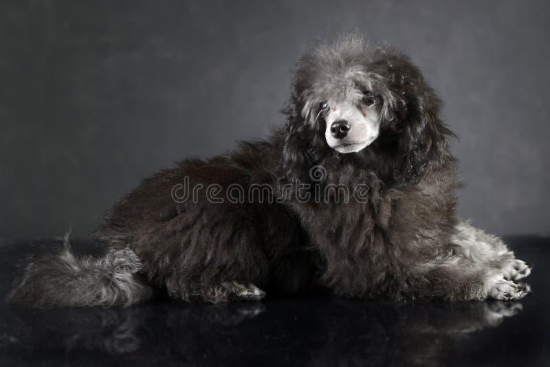 Пудель щенка лежа на темной студии фото стоковые изображения rf