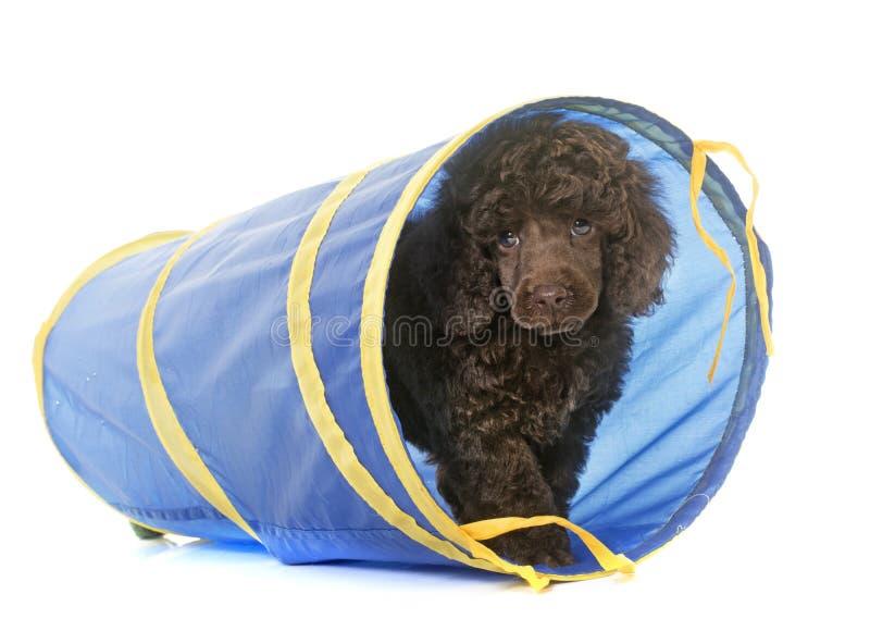 Пудель щенка коричневый в подвижности стоковое фото