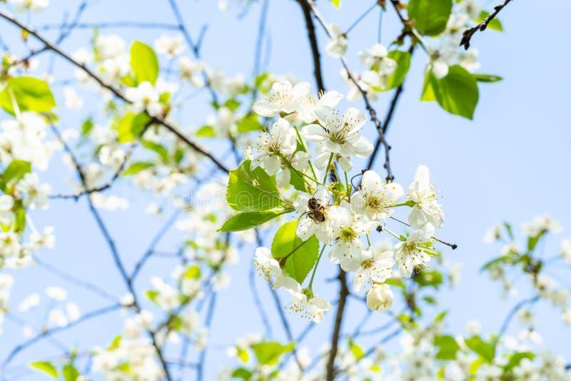 Пчела в белых цветениях и голубом небе на предпосылке стоковое фото