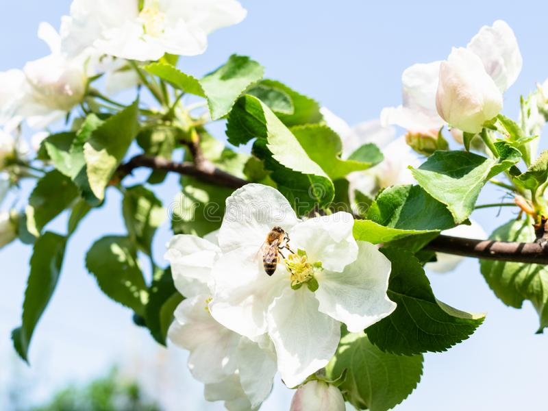 Пчела в белых цветениях яблони и голубого неба стоковая фотография