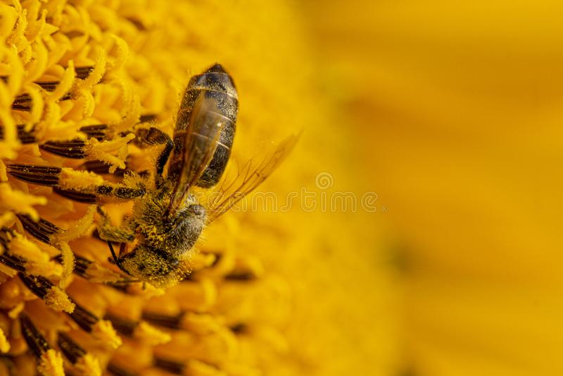 Пчела в желтом цветне, собирает нектар солнцецвета стоковые изображения rf