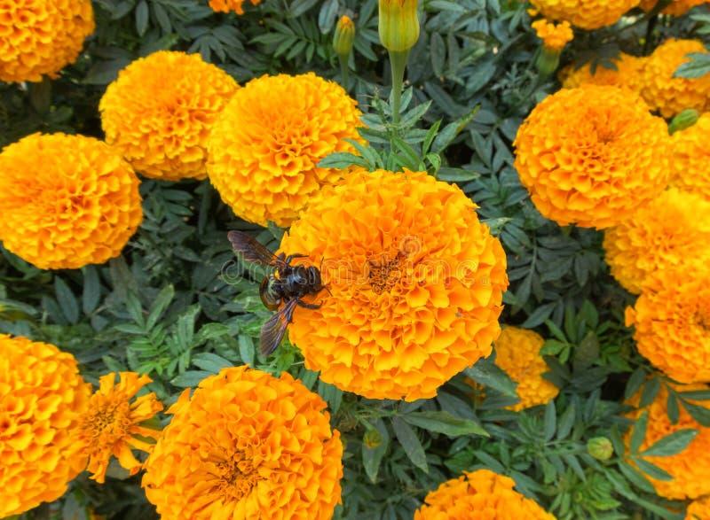 Пчела в кровати ноготков стоковое фото