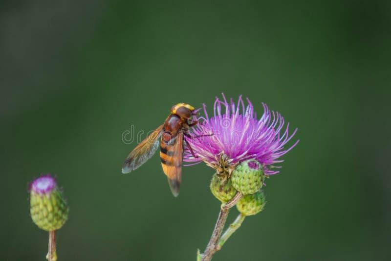 Пчела в цветке стоковая фотография rf