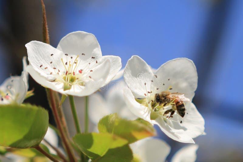 Пчела в цветке стоковые фотографии rf