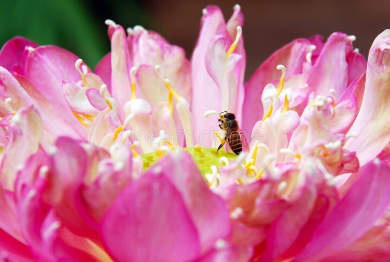 Пчела и лотос стоковая фотография rf