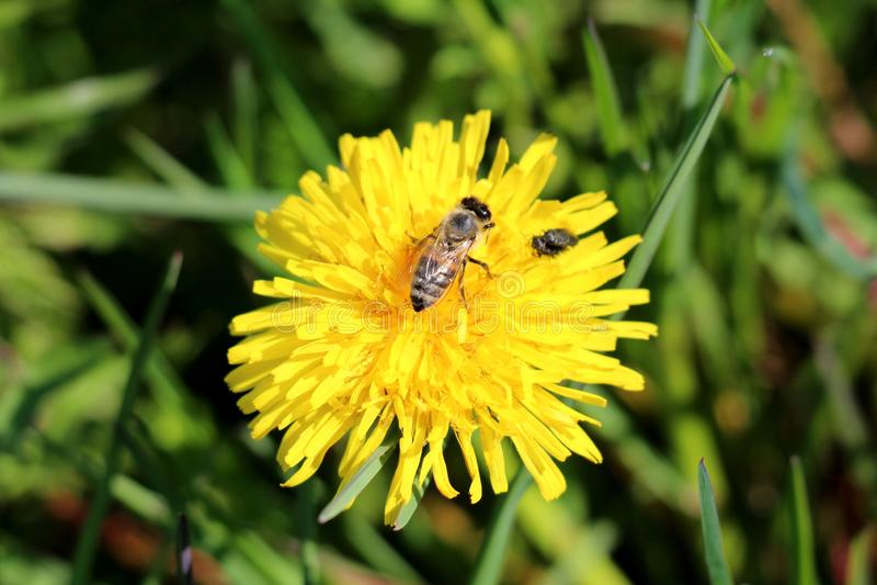 Пчела и 2 небольших мухы поверх цветка одуванчика или Taraxacum открытого зацветая желтого окруженного с зеленой uncut травой стоковые изображения rf