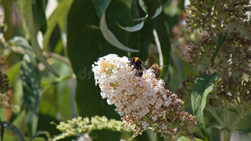 Пчела и оса деля такой же цветок стоковые фотографии rf