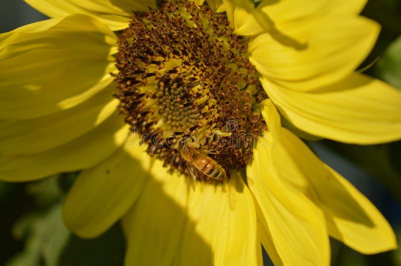 Пчела и солнцецвет стоковое фото rf
