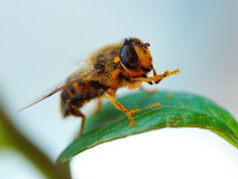 Пчела и цветень меда стоковая фотография