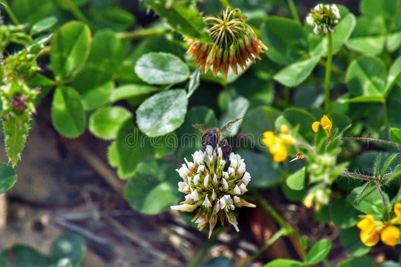 Пчела и цветок меда Пчела в цветке стоковое фото rf