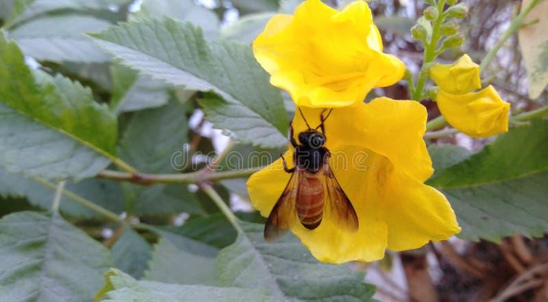 Пчела как мед создаться стоковая фотография