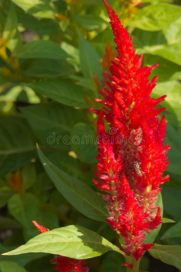 Пчела меда многодельно собирая цветень на ярком красном цветя кустарнике в симпатичном тайском парке стоковое изображение rf