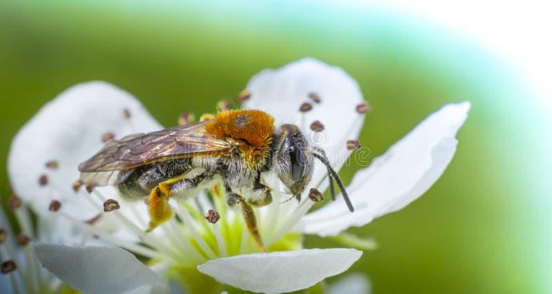 Пчела меда на белом вишневом цвете стоковое фото