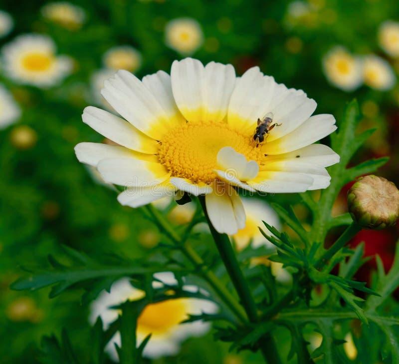 Пчела меда на работе стоковое фото rf