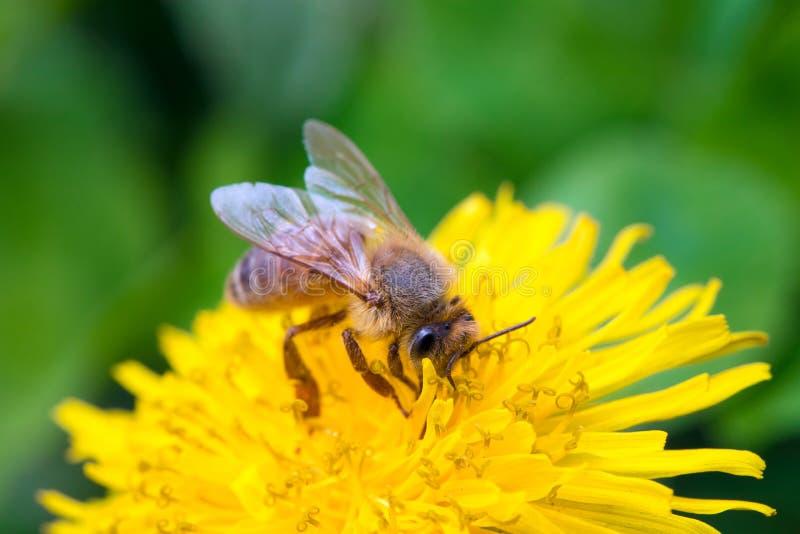 Пчела меда на цветке одуванчика стоковые фото