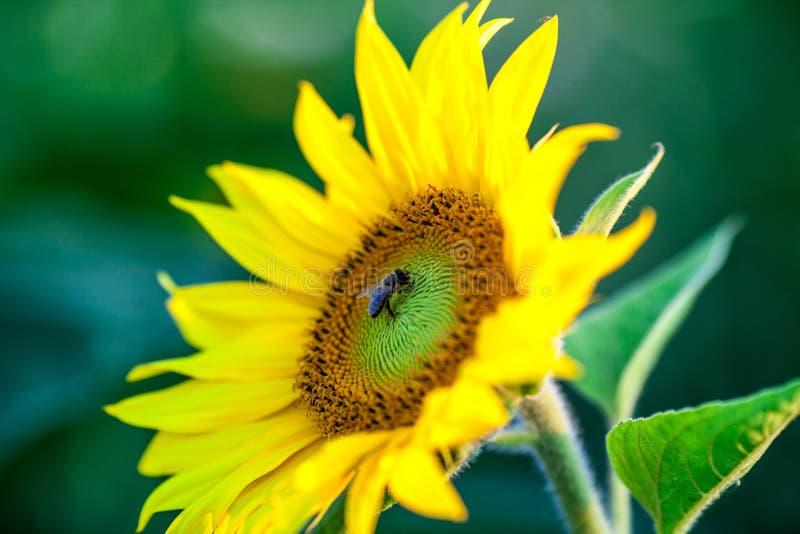 Пчела меда покрытая при желтый цветень собирая нектар в цветке Животное сидит собирать в солнечном солнцецвете лета Importan стоковое изображение rf