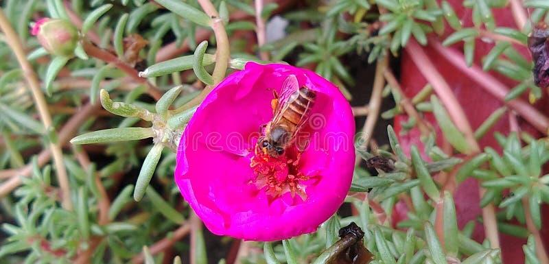 Пчела меда сидя на розовом портулаке стоковая фотография rf