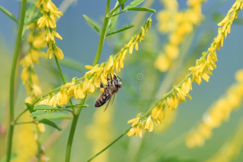 Пчела меда собирает нектар на желтых цветках сладостного клевера стоковые фото
