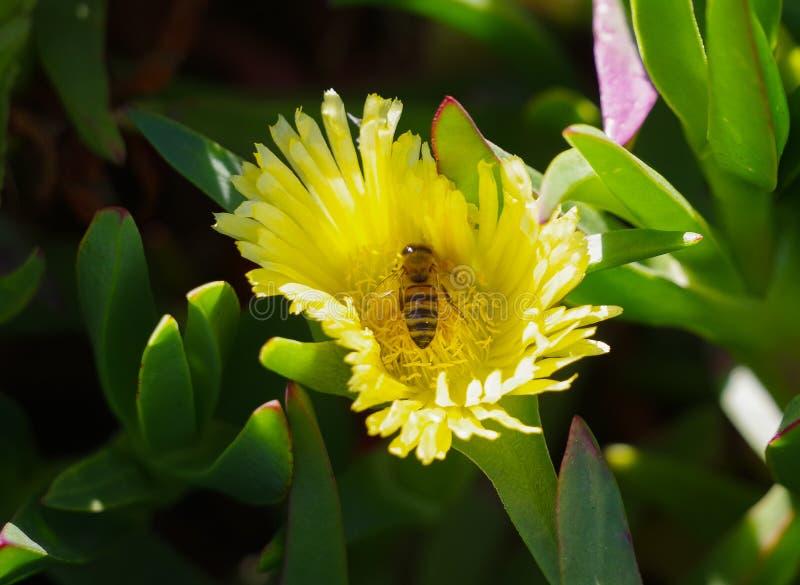 Пчела меда собирает цветень от желтого цветка стоковая фотография rf