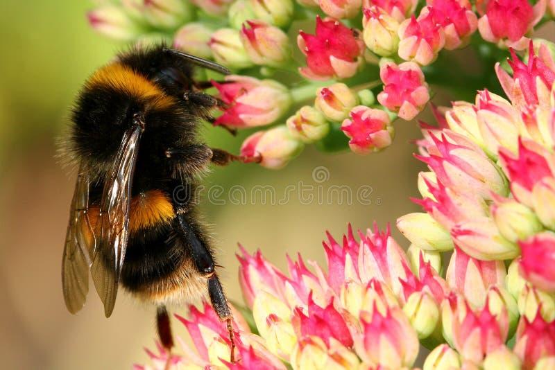 пчела многодельная стоковые фото