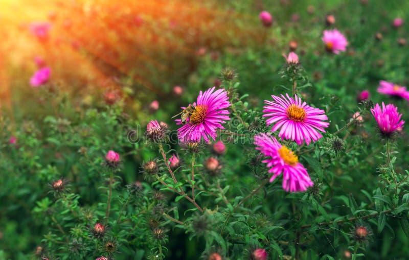 Пчела насекомого опыляет розовый цветок на заходе солнца стоковые изображения