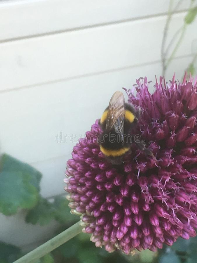 Пчела наслаждаясь фиолетовым цветком стоковые изображения rf