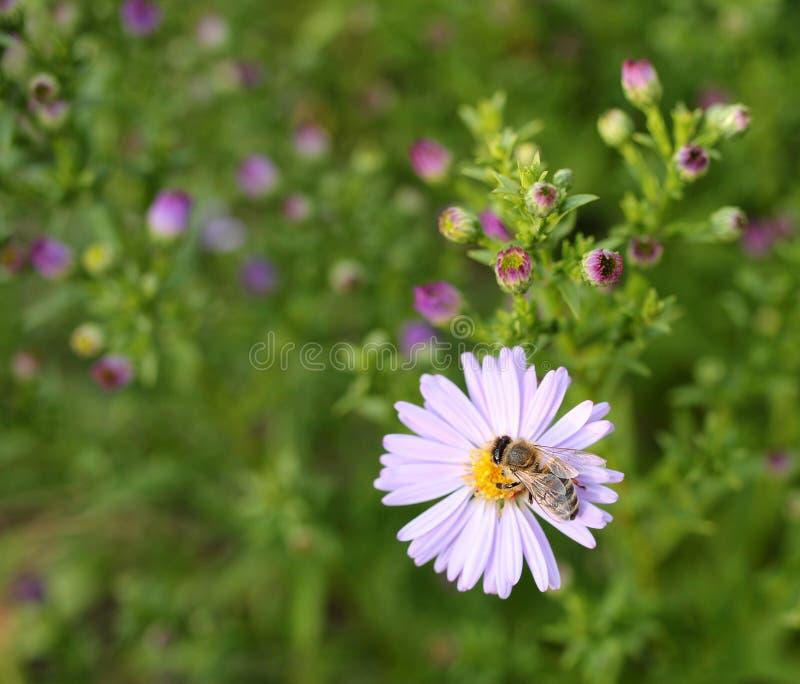Пчела на астре стоковая фотография rf