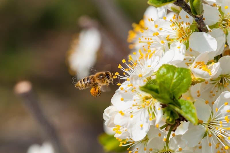Пчела на белом макросе цветков сливы стоковые изображения rf