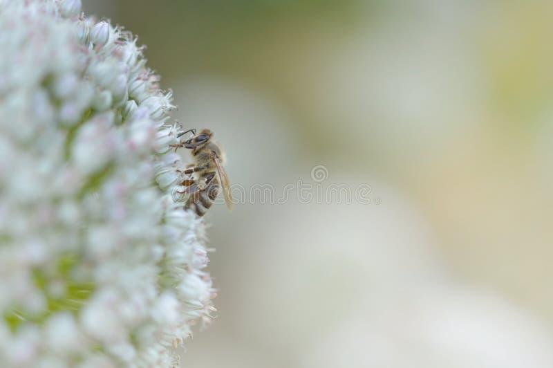 Пчела на белом цветке стоковые изображения